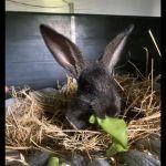Kaninchen8